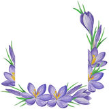 Spring flower  banner of crocuses. Watercolor Background Royalty Free Stock Image