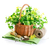 Spring yellow flowers in basket with garden tools Stock Photos