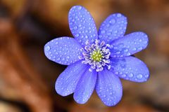 Spring flower. Beautiful blooming first small flowers in the forest. Hepatica. Hepatica nobilis Royalty Free Stock Image