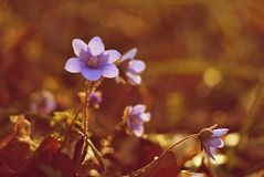 Spring flower. Beautiful blooming first small flowers in the forest. Hepatica. Hepatica nobilis Royalty Free Stock Images