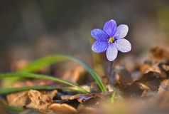 Spring flower. Beautiful blooming first small flowers in the forest. Hepatica. Hepatica nobilis Stock Photos