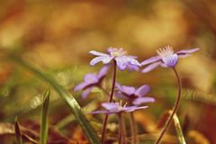 Spring flower. Beautiful blooming first small flowers in the forest. Hepatica. Hepatica nobilis Stock Photo