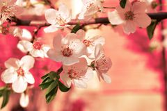 Spring flower. Beautiful pink red green white stock photo
