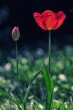 Spring flower. Beautiful red tulip blooming in the springtime. Royalty Free Stock Photography