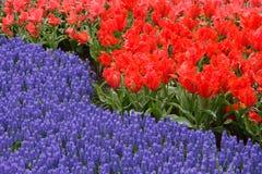 Spring flower bed. In Keukenhof gardens, the Netherlands Stock Photos