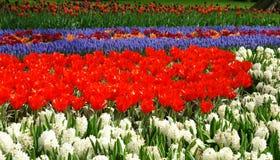 Spring flower bed. In Keukenhof gardens, the Netherlands Royalty Free Stock Photo