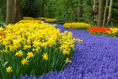 Spring flower bed in Keukenhof Royalty Free Stock Photos