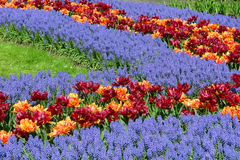 Spring flower bed in Keukenhof gardens Stock Photos