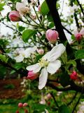 Flowers in spring: white plum. Spring beutiful flower on tree Stock Photography