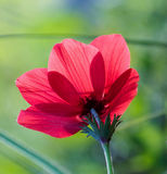 A spring flower big anemone royalty free stock photos