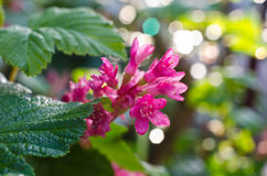Spring flower blackcurrant. Close up of a plum blossom flower royalty free stock images