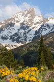 Spring flower blooming in grand teton mountains Stock Photos