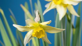 Spring flower - blooming narcissus stock footage