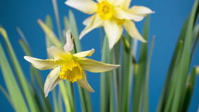 Spring flower - blooming narcissus stock video footage