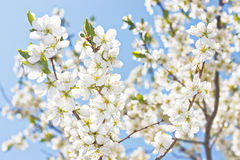 Spring flower blossom. Stock Photography