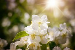 Spring Flower Blossom Royalty Free Stock Photography