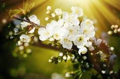 Spring Flower Blossom Royalty Free Stock Image