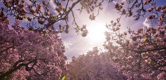 Spring flower in branches of tress. Spring flowers blooming in trees cloud and in sky background. Flower . Pink summer flowers. Like blessing from God. Concept Stock Image