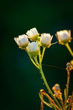 Spring flower buds in a sunset  light, close up Stock Photography