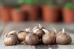 Spring flower bulbs for planting. Flower pots with plants in the background, not in focus. Spring flower bulbs for planting. Several flower pots with plants in royalty free stock photos