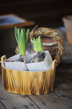 Spring flower bulbs in wooden pot wrapped in fabric on the table Stock Photography