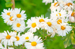 Spring flower. Camomiles Royalty Free Stock Photo