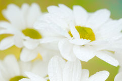 Spring flower. Camomiles Royalty Free Stock Image