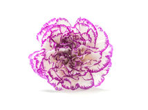 Spring flower, carnation Stock Images