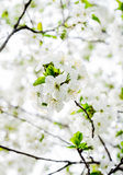 Spring flower cherry. The background is blurred Royalty Free Stock Photos