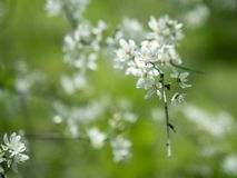 Spring flower cherry blossom close up stock photography