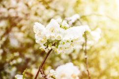 Spring flower cherry in snow Stock Image
