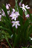 Spring flower a chionodoxa. On flowers and leaves of a chionodoxa a conerable quantity of drops of water Royalty Free Stock Photos