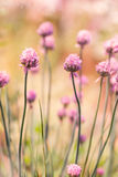 Spring flower chives on sunny day Stock Images
