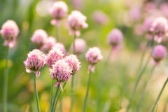 Spring flower chives on sunny day Stock Photography