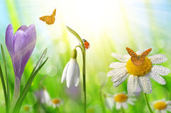Spring flower Crocus, Daisy and Snowdrop Stock Photos