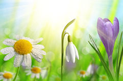Spring flower Crocus, Daisy and Snowdrop Stock Images