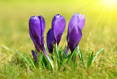 Spring flower Crocus with dew drops Royalty Free Stock Photo