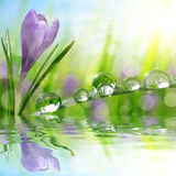 Spring flower Crocus and green grass with water drops. Royalty Free Stock Photos