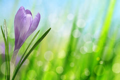 Spring flower Crocus Royalty Free Stock Photos