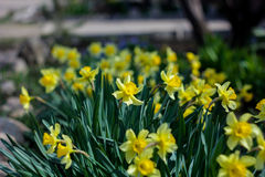 Spring flower daffodil. Daffodil spring flower shows its beauty under the rays of spring sunshine Stock Images