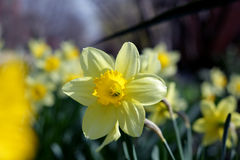 Spring flower daffodil. Daffodil spring flower shows its beauty under the rays of spring sunshine stock photo