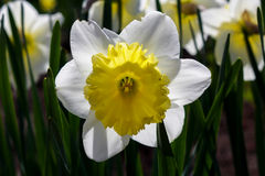 Spring flower daffodil. Daffodil spring flower shows its beauty under the rays of spring sunshine stock photos