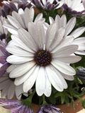 Spring flower. Spring, flower, daisy, insect, good, smeel, background Royalty Free Stock Photo