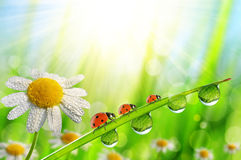 Spring flower Daisy and ladybugs on green grass with dew drops. Royalty Free Stock Photo