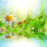 Spring flower Daisy and ladybugs on green grass with dew drops. Stock Photo