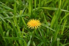 Spring flower dandelion in green grass Stock Images