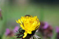 Spring flower dandelion. Shows its beauty under the spring sun Royalty Free Stock Images