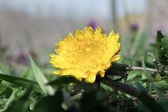 Spring flower dandelion. Shows its beauty under the spring sun Royalty Free Stock Image