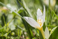 Spring flower with drop. Spring flower with dew drop closeup. Nature Background Stock Photos