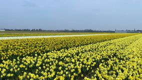 Spring flower field. At the Netherlands stock video